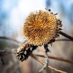 Dried sunflower IV