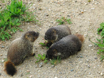 Marmots by showjumpergirl