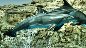 Flying dolphins by herbalcell