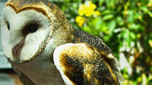 Hootie the barn owl by herbalcell