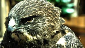 Hawk eye is watching you