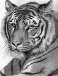 Tiger - in pencil