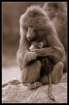 Baboon and Baby