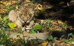 Lion Cub 07-98