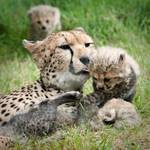 Cheetah Family 104-09-11 by Prince-Photography