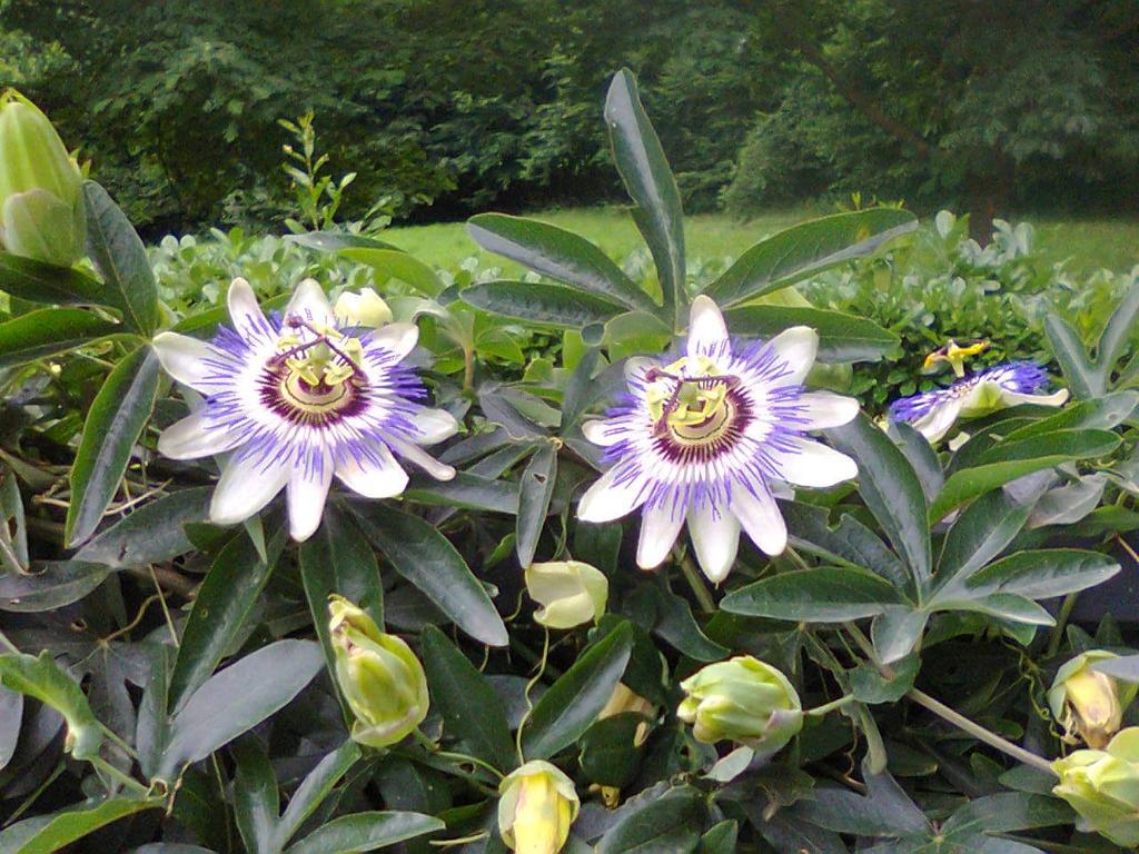 blue passion flower passiflora caerulea by gheldhon on. Black Bedroom Furniture Sets. Home Design Ideas
