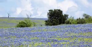 Field of bluebonnets 2