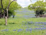 River of bluebonnets