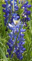 Bluebonnet closeup