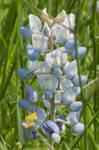 Pastel bluebonnet
