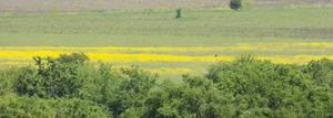 Mustard field 2