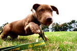 Pitbull Pup III