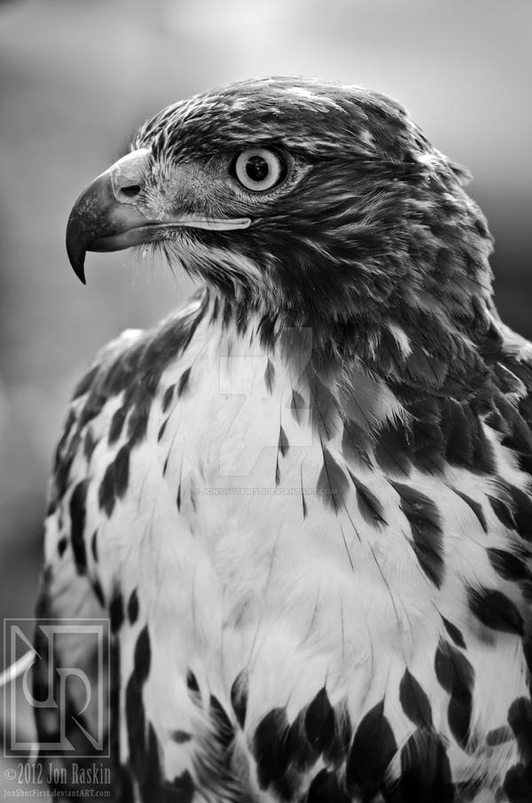 Red-Tail II by JonShotFirst