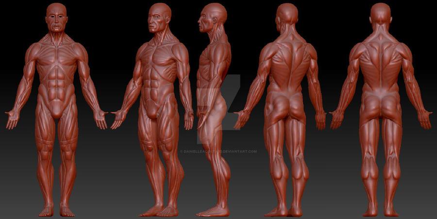 3D Modeling: Male Anatomy by DanielleAcosta3D on DeviantArt