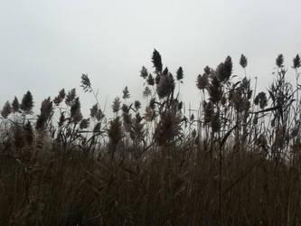 Wheat by GraveRobberEqui