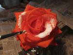 I wanted white roses