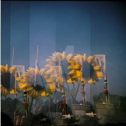 Geneve's Sunflowers