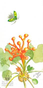 Jatropha Podagrica Hook, Buddha Belly Plant