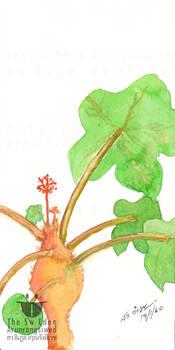 Jatropha Podagrica Hook, Bottleplant Shrub