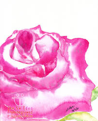 The Most Beautiful Pink Rose