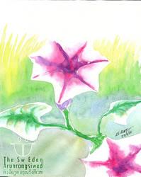 Pink Ipomoea Morning Glory