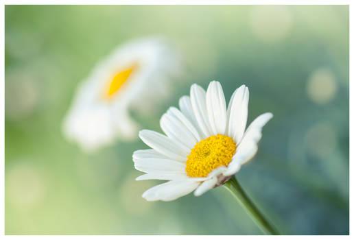 Oxeye daisy by KKokosz