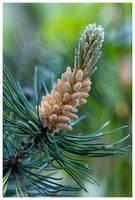 The Conifer by KKokosz