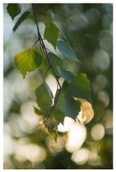 A Birch-tree by KKokosz