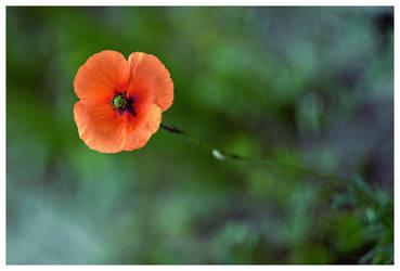 Just a poppy by KKokosz