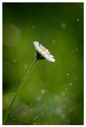 Daisy by KKokosz