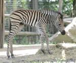 Zebra stock 2