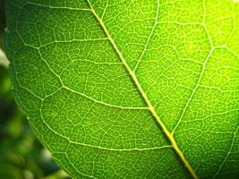 Green leaf by Rocky-Winter