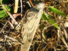 Grasshopper in camo by Rocky-Winter