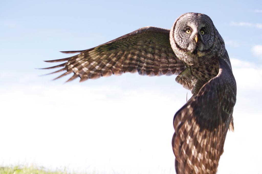 Great Grey Owl Flying Great Grey Owl In Flig...