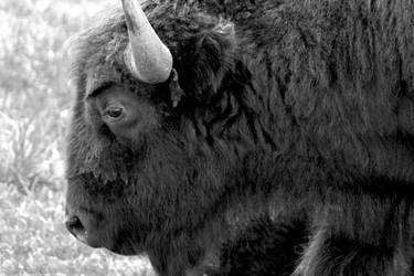 Buffalo at Custer State Park by selestial-princess