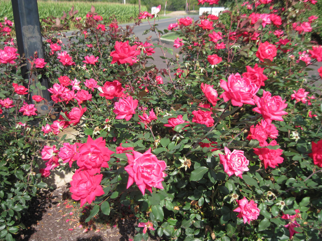A Hot Pink Rose Bush By Lark Catalpa Royal8 On Deviantart