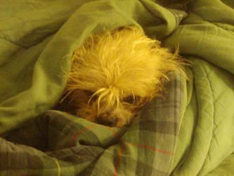 Dog in Blanket by jalu3