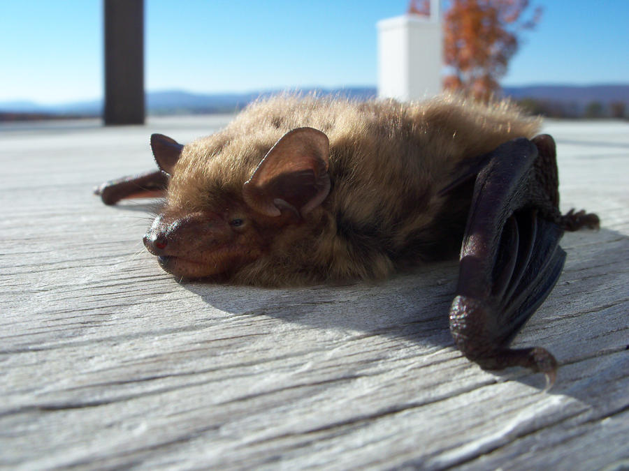 Small footed bat by Koiley