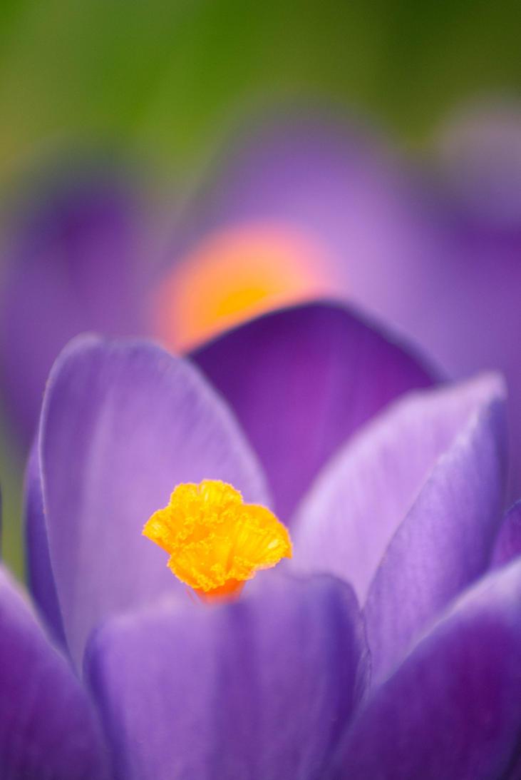Purple Spring by Kurenai87