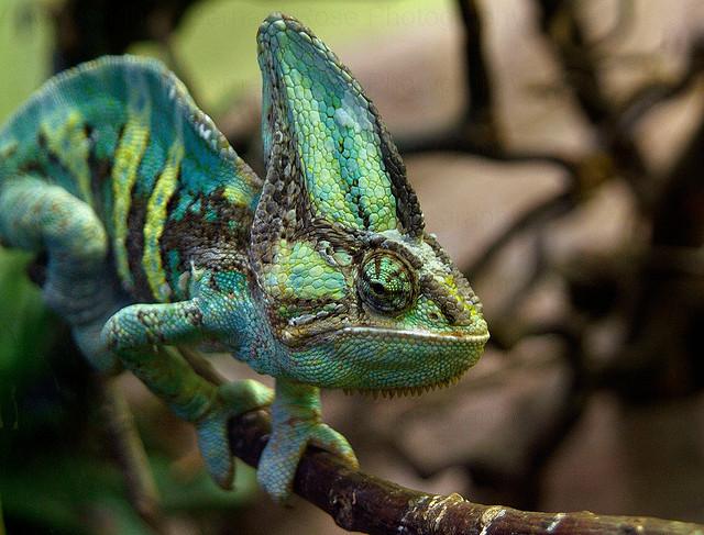 Chameleon by dranrebesor