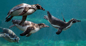 Humboldt Penguins - Chester Zoo by dranrebesor