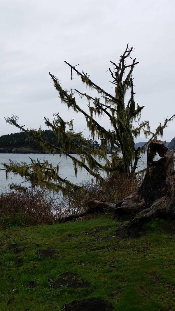Old Tree by Deception Bay 2 by CelestialOrca
