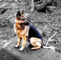 German Shepherd by preppyboy94