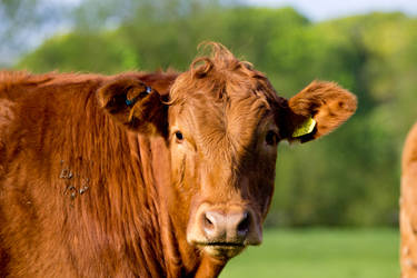 Cow by GeorgeAmies
