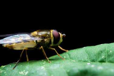 Hover Fly by GeorgeAmies