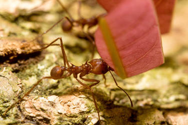 Leaf Cutter Ant by GeorgeAmies