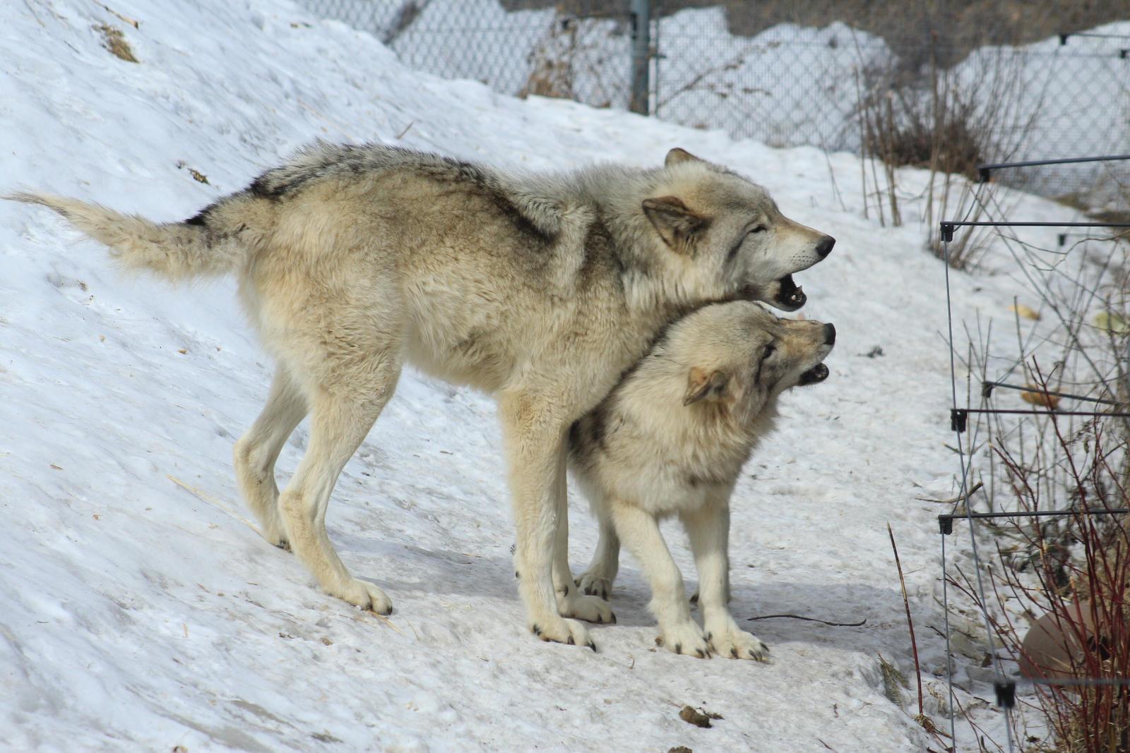Wolf Stock Ecomuseum 12 by wolf-alchemy