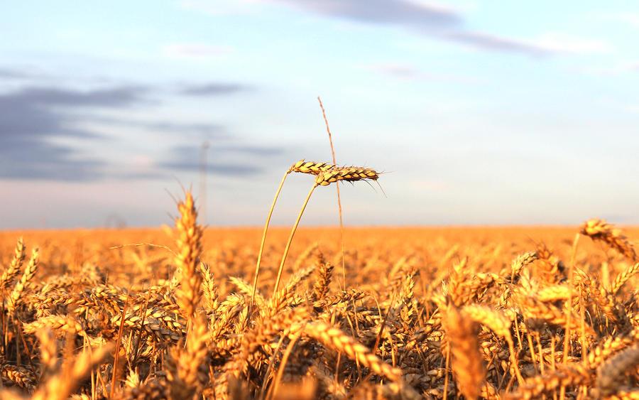 Golden Field by Nirvasher