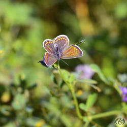 Common blue 2
