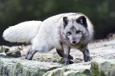 Arctic Fox III by AndreasAvester